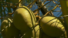 Golden coconuts Stock Footage