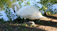 Stock Video Footage of Swan with baby 6869