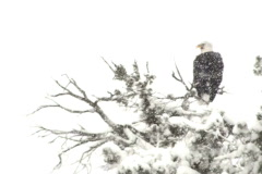 Eagle In Snowstorm NTSC Stock Footage