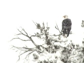 Stock Video Footage of Eagle In Snowstorm NTSC
