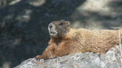 P01077 Yellow-bellied Marmot on Rock Stock Footage