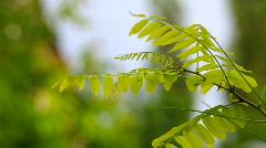 Acacia branch Stock Footage