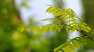 Acacia branch Stock Footage