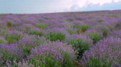 Beautiful lavender field Stock Footage