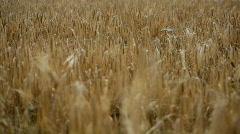 Ripe wheat Stock Footage