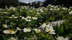 (1203) Colorado Rocky Mountains Alpine Meadow  Wildflowers Summer Tourism LOOP - stock footage