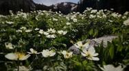 (1203) Colorado Rocky Mountains Alpine Meadow  Wildflowers Summer Tourism LOOP Stock Footage