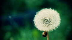 Stock video footage dandelion, blowball, taraxacum Stock Footage