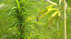 cannabis genus cultivated hemp W508004 043635  - stock footage