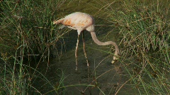 Flamingo tracking skimming Stock Footage