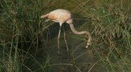 Stock Video Footage of Flamingo tracking skimming