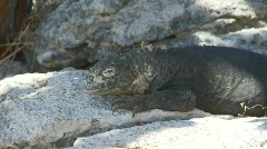 Land iguana zoom out female Stock Footage