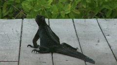 Marine iguana back view Stock Footage
