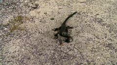 Marine iguana in sand Stock Footage