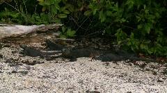 Marine iguana moves forward  Stock Footage