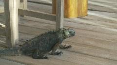 Marine iguana with tracking Stock Footage
