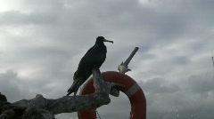 Old male frigate bird Stock Footage
