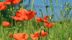 Poppies Stock Footage