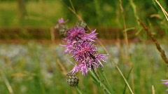 Honey bee gathering pollen 4 Stock Footage