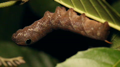 Snake mimic- Sphingid caterpillar with eyespots, Stock Footage