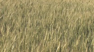 Field of Rye Stock Footage
