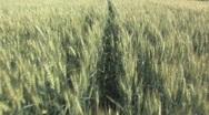 Walking in the Field of Rye Stock Footage