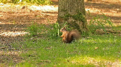 Squirrel scouting Stock Footage