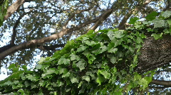 Ivy growing up a tree limb Stock Footage