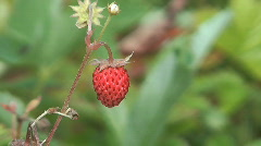 Wild strawberries. Stock Footage