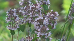 Thyme flowers. Stock Footage
