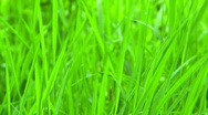 Stock Video Footage of Green grass close up