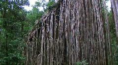 Fig tree Stock Footage