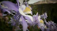 (1221) Scenic Colorado Rocky Mountains Alpine Landscape Wildflowers Summer Co - stock footage