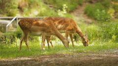 Cute bambi deer nature Stock Footage
