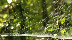 Spider web, probably a sheetweb spider, family Linyphiidae   Stock Footage