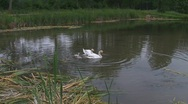 Stock Video Footage of Swan family in pond