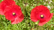 Red poppy flower in the field closeup Stock Footage