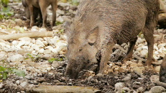 Wild hog with child Stock Footage