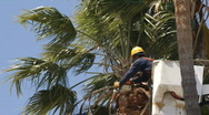 Trimming Palm Tree with Saw Stock Footage