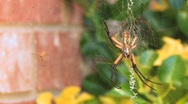 Mother Spider and Baby on Web Stock Footage