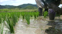 Stock Video Footage of RICE FARMER Planting Rural Green Field Paddies Crop Chiang Rai Thailand Asia
