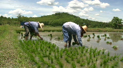 RICE FARMERS Planting Rural Green Field Paddies Crop Chiang Rai Thailand Asia  - stock footage