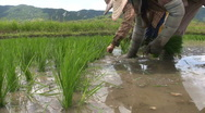 Stock Video Footage of Planting Rice Paddies, Chaing Rai, Thailand. 7