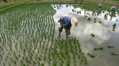 Thai Woman Planting Row of Rice Paddies Field Farmer Traditional Thailand Stock Footage