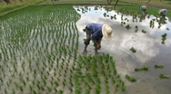 Stock Video Footage of Planting Rice Paddies, Chaing Rai, Thailand. 1