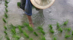 Woman Planting Rice in Paddies Chiang Rai Thailand  Stock Footage