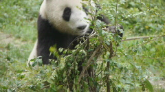 Stock video footage Giant Panda eating bamboo - stock footage