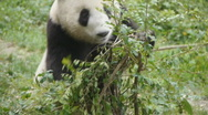 Stock Video Footage of PANDA1