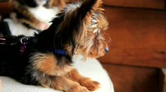 Papillon Puppy (HD) co - stock footage