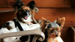Puppies on a Lawn Chair (HD) co - stock footage